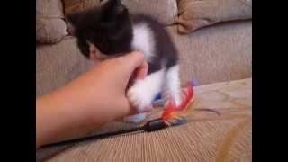 Кошки экзоты из питомника Файна Киця видео