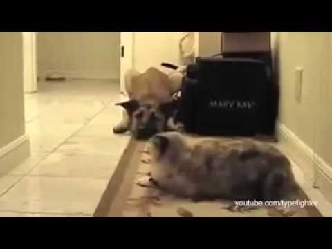 Dogs Terrified Of Walking Past Cats, A Dramatic Compilation | HUFFINGTON POST COMEDY
