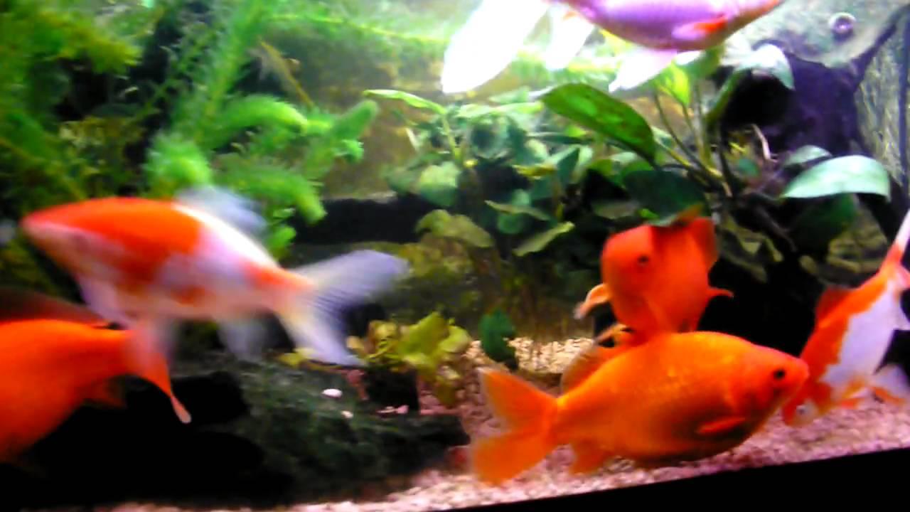 Goldfish super red & sarasa comet; Goldfische - YouTube
