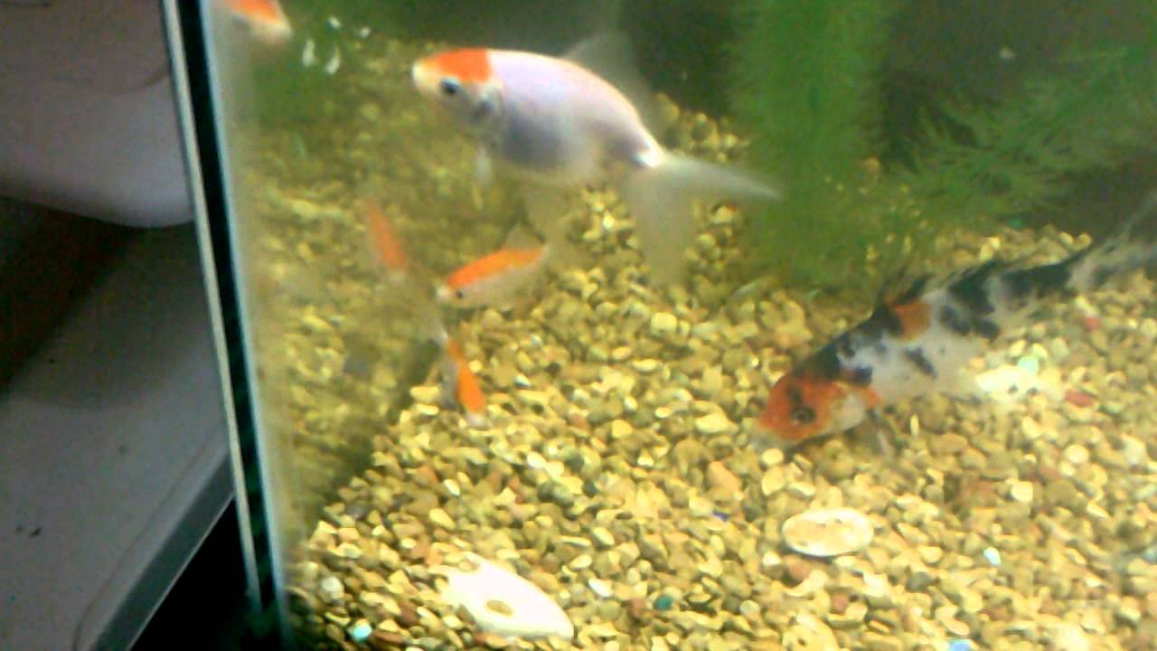 how to care for sarasa comet goldfish - YouTube