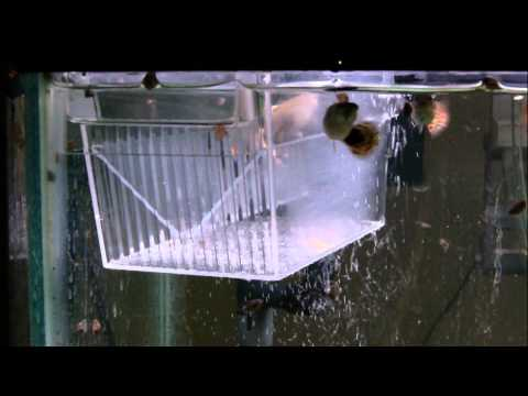 How To Breed Guppies 3 Methods