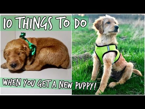 10 THINGS TO DO WHEN YOU GET A NEW PUPPY! WITH OUR GOLDENDOODLES!