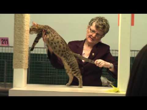 Agathe- bronze egyptian mau in cat show