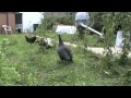 Le cri de la pintade / The shout of the guinea fowl