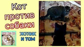 Приколы с котами. Кот гоняет собаку. Жулик против Тома.