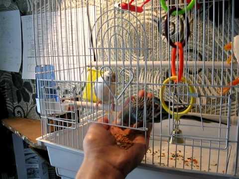 Как приручить попугая кореллу к рукам