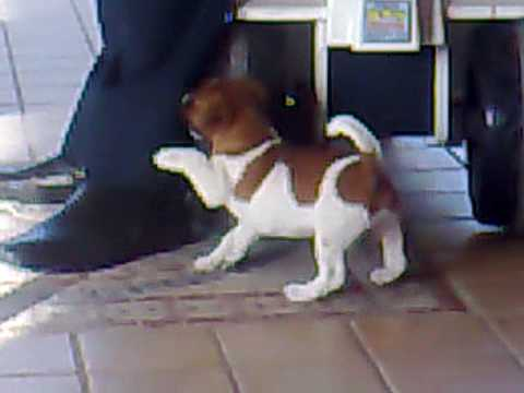 Jack Russell Terrier Nick Birbante 242010 Aversa Ce