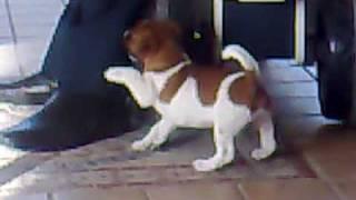 Jack Russell Terrier. Nick,  Birbante  2/4/2010 - Aversa (ce)
