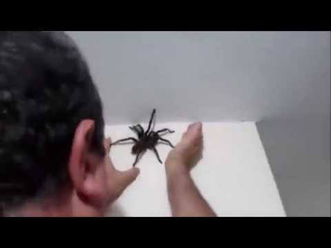 Man catches massive spider bigger than his hand as it crawls up his wall [VIDEO]
