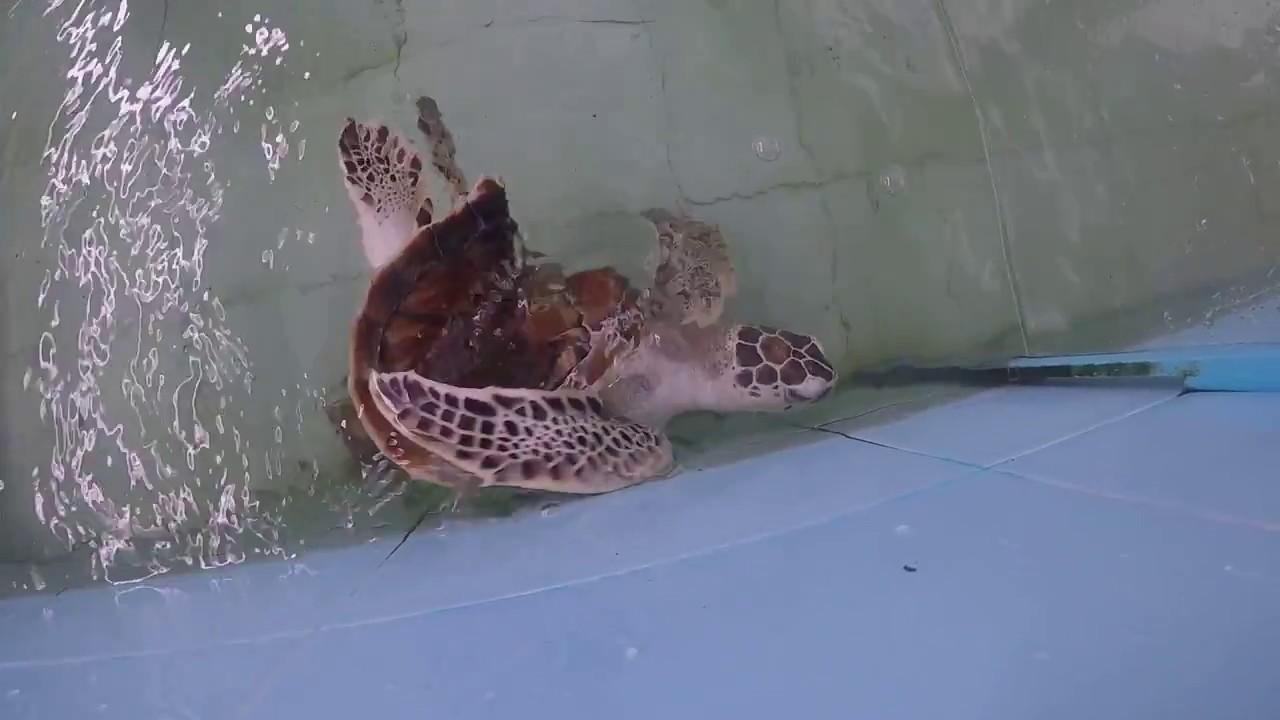 Donatello The Most Unique Lovable Turtle Of The World Atoll Marine Centre Maldives