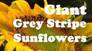 We grew 3 different Giant Sunflowers this year. The giant grey stri...
