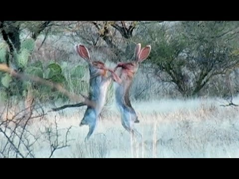 Amazing Rabbit FIGHT