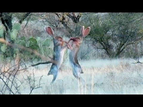 Amazing Rabbit FIGHT YouTube