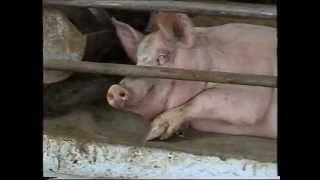 Технологія утримання і вирощування свиней на глибокій підстилці