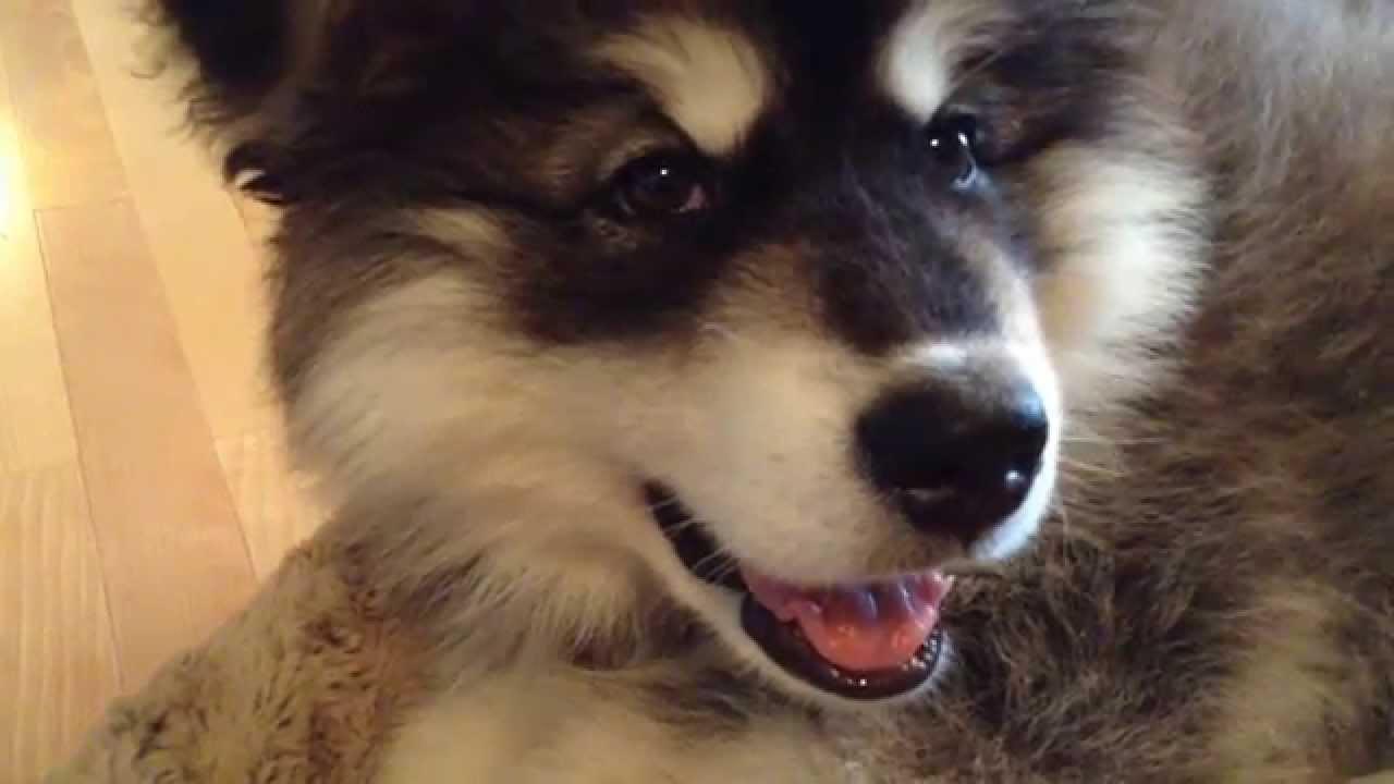 11 Week Old Giant Alaskan Malamute Puppy Youtube