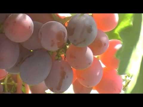 сорт винограда Даша