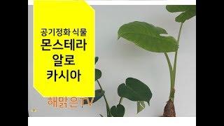 몬스테라, 알로카시아 키우기(공기정화 식물), 분갈이,…