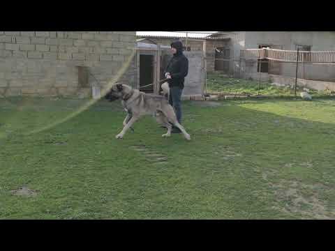 Legendary anatolian shepherd dog FERMAN