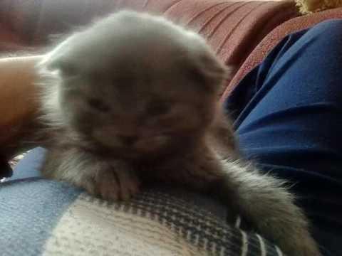 Кот для вязки британец -