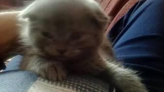 Маленький шотландский котёнок пытаеться уснуть. Смотри очень интересно.