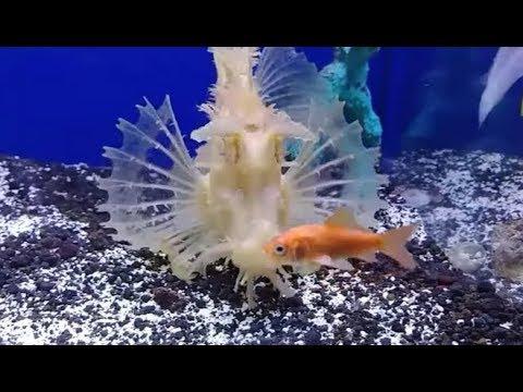 Rhinopias Live Feeding Rare Saltwater Venomous Scorpionfish
