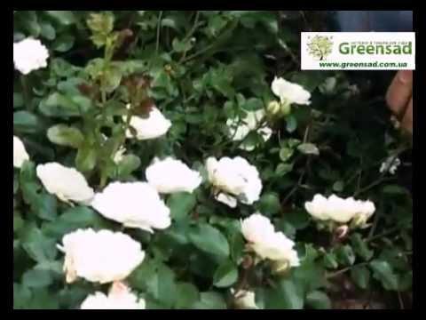 Миниатюрные розы - прекрасный выбор д/переднего плана