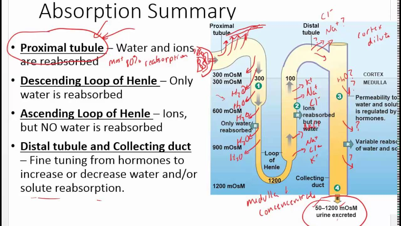 Chapter 20 Renal Hormones And Urine Production Youtube