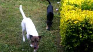 Staffy X Sharpei Playing With A Heinz 57 Variety