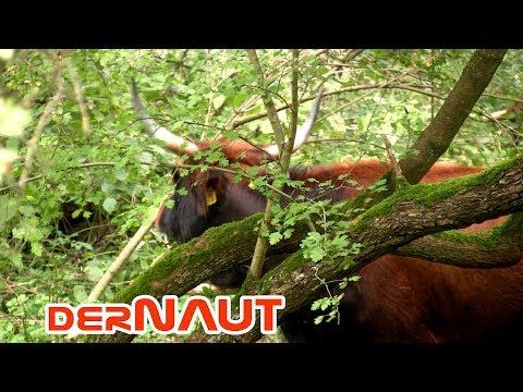 Auerochse Fake - das Heckrind // Aurochs fake - the Heck Cattle