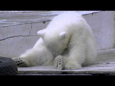 ホッキョクグマの赤ちゃんコロンコロン~Polar Bears Baby loaf around