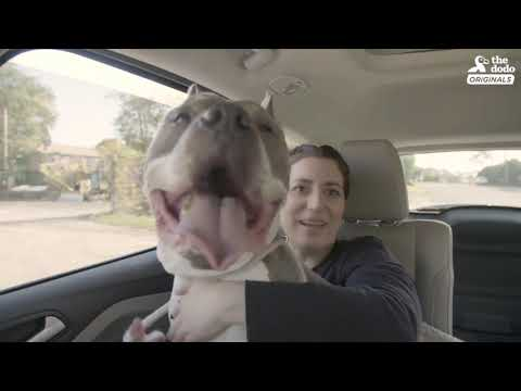 download Senior Pittie Is So Happy To Finally Have A Family - ZOLTAN | The Dodo Adoption Day
