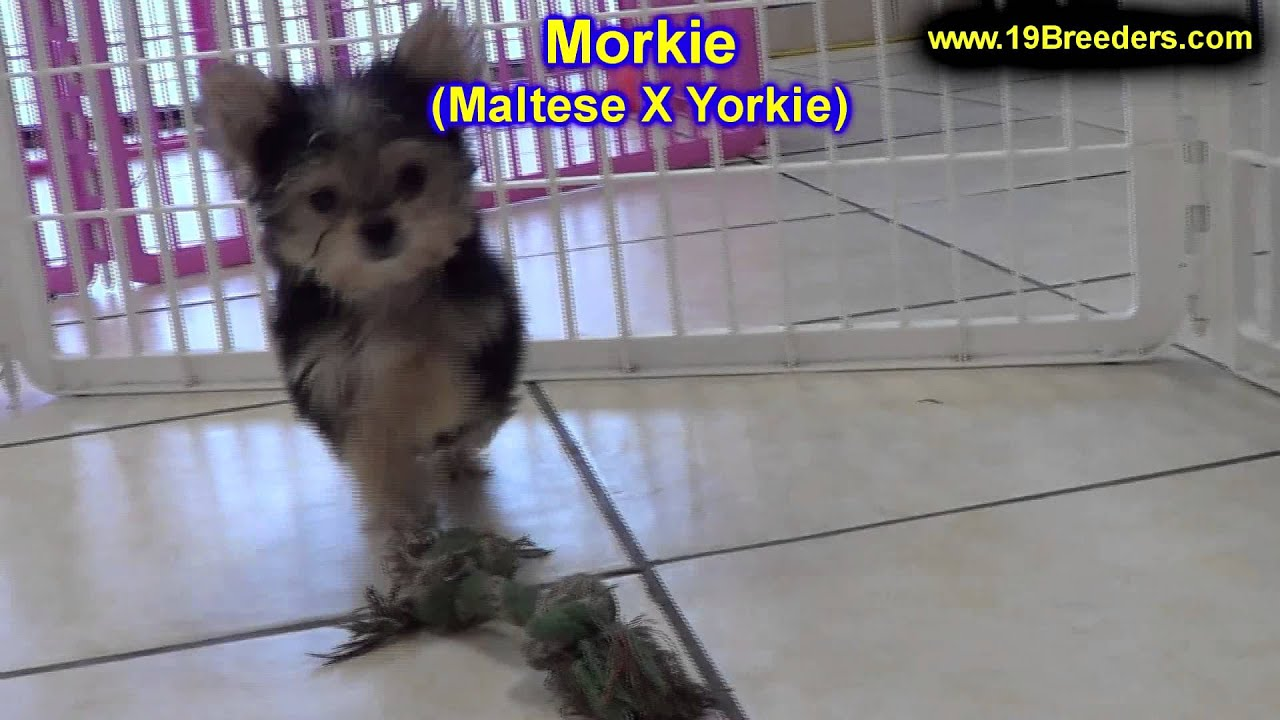 Morkie Puppies Dogs For Sale In Denver Colorado Co 19breeders