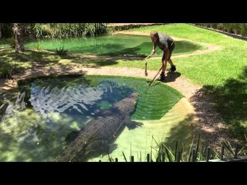 Feeding Elvis the Crocodile - Australian Reptile Park - 29th December 2014