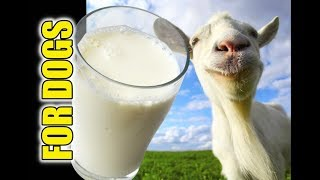 Is Goats Milk Good For Dogs 🐐🍼