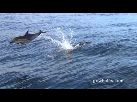 A.D. - Dolphin in the Ocean Doing One Backflip After Another