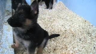 German Shepherd Puppies For Sale In Pa.