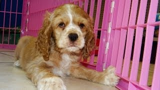 Cocker Spaniel, Puppies, For, Sale, In, Little Rock, Arkansas, Ar, Russellville, Jacksonville, Sherw