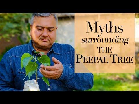 Peepal tree myths