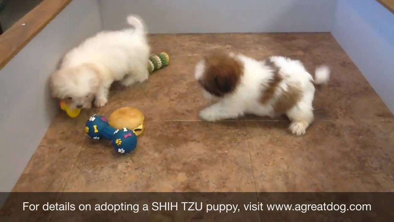 Female Shih Tzu Puppies Youtube
