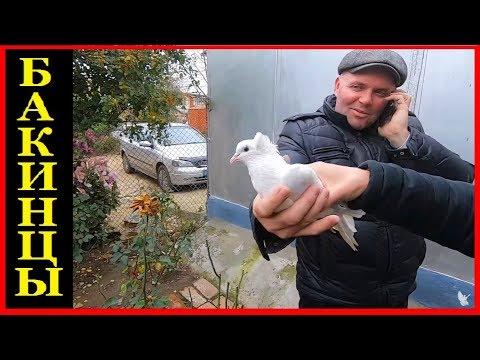 Вот так должны играть и летать Настоящие бакинские голуби / BAKU PIGEONS ( Vitalie , CAHUL )