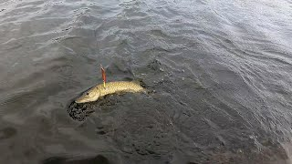 Рыбалка на щуку в сентябре. Опять сходы. Щука меняет зубы)