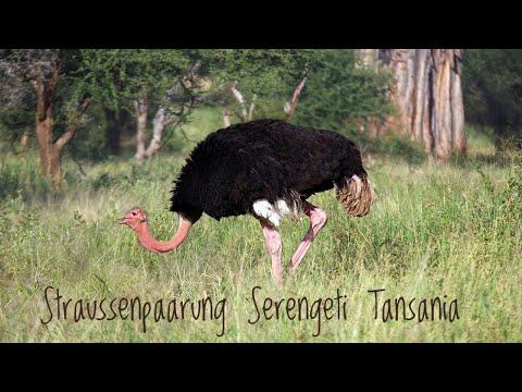 straußenpaarung-@-serengeti-nationalpark-(tansania)
