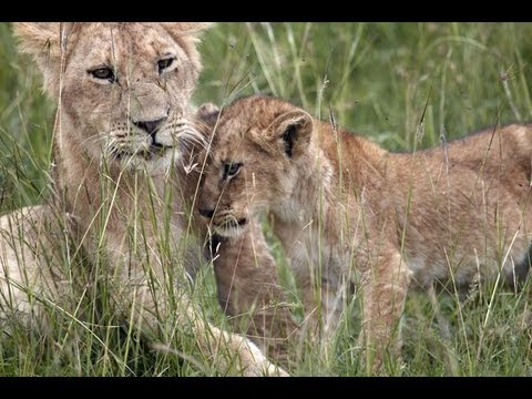 lioness-and-lion-cubs-at-meal-time-in-the-maasai-mara-kenya