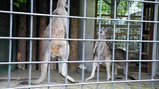 上野動物園でおこなわれたカンガルーの試合です。 ボクシングというより...
