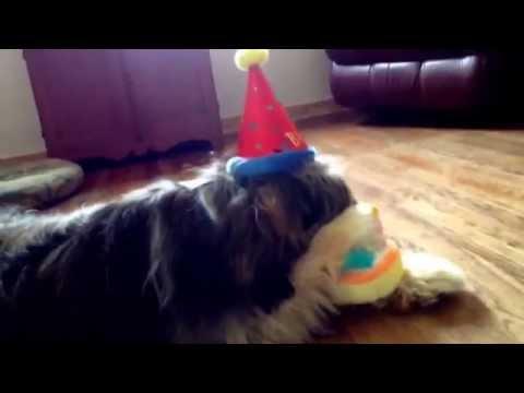 Riz-Li the Tibetan Terrier turns One Year's Old