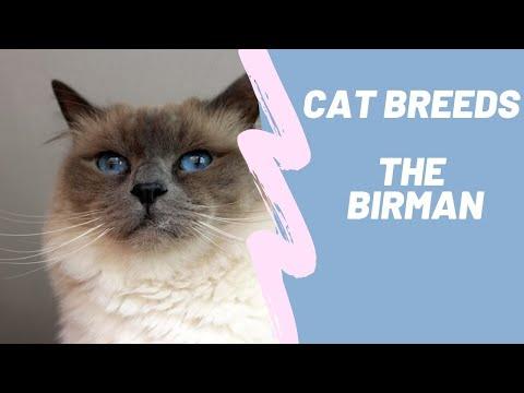 THE BIRMAN - CAT BREEDS