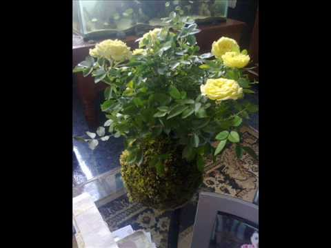 Kokedama tipos de plantas para hacer youtube for Plantas para veredas con flores