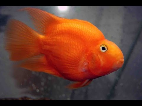 Red Parrot Fish in Aquarium