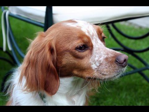 Brittany Spaniel (Epagneul Breton) - Dog Breed