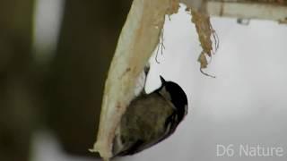 Parus ater, Coal tit (UK), Синиця чорна (UA) Московка (RU)